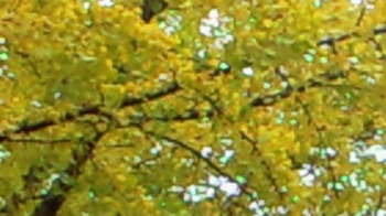 銀杏の葉.jpg